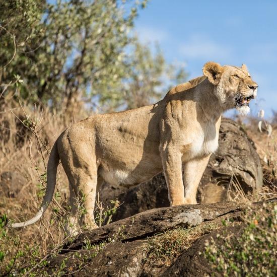Kenya Big Cat Safari